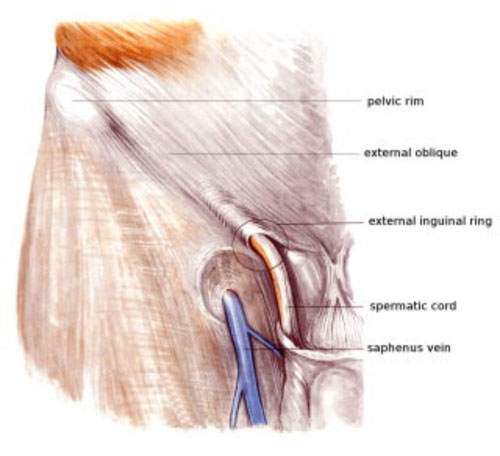 Anatomy Of Groin And Adductors